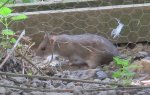 Small rat-let inside chicken coop